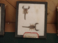 Part of BC Cains bug collection from Camp Dimond, now located at the Lake Merritt Nature Center